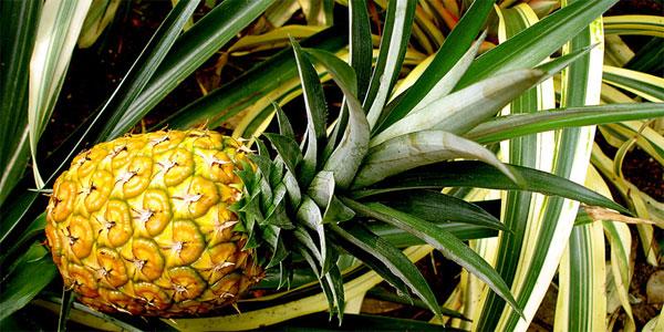 Тропічний куточок будинку. Дізнайся, як можна виростити ананас в домашніх умовах (Фото)