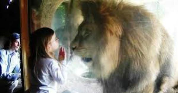 Ось як 250-кілограмовий лев відреагував на поцілунок маленької дівчинки