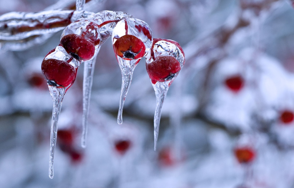 11529660-winter-berry-3-1000-30f96d6feb-1475490796